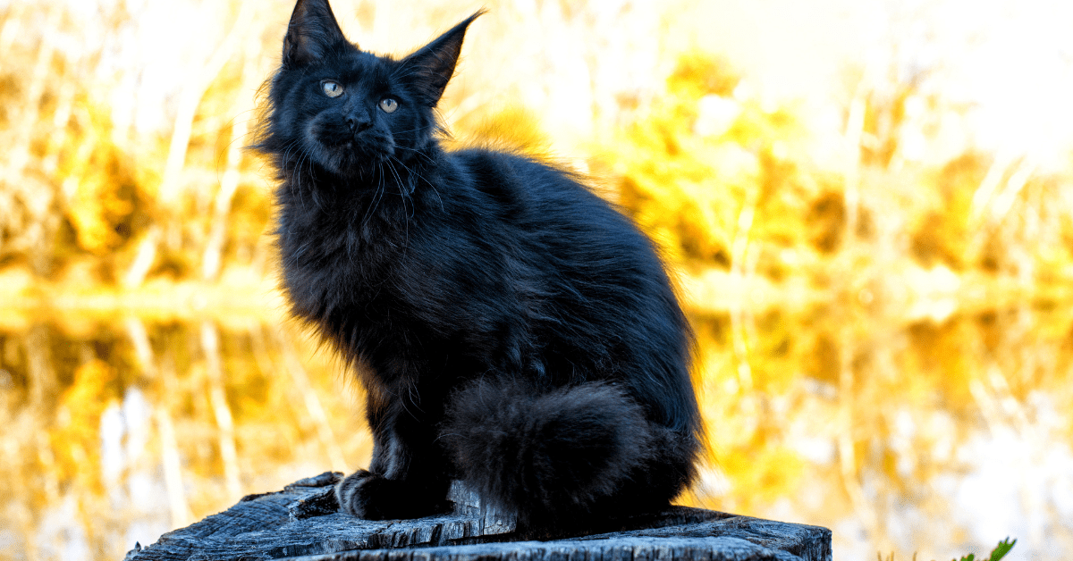 solid black maine coon cat
