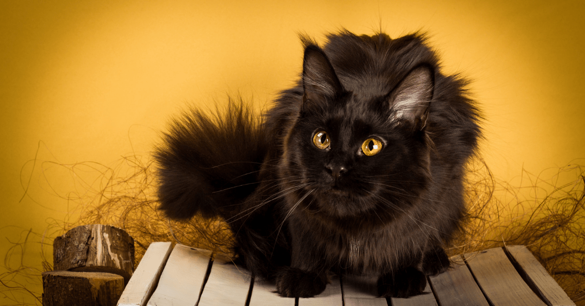 black maine coon cat pictures