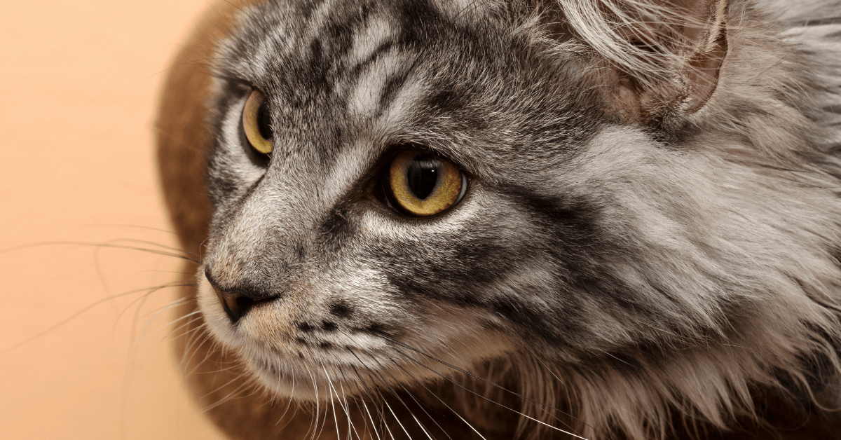 gray and white maine coon