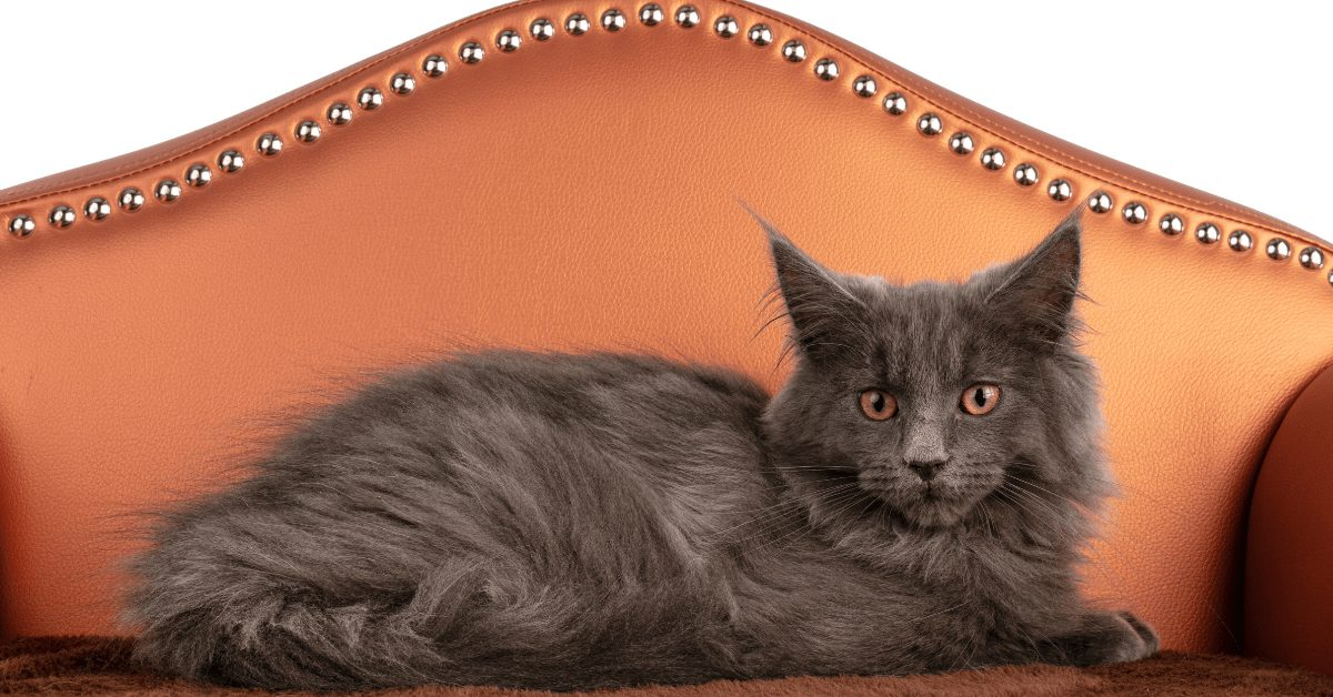 maine coon cat grey