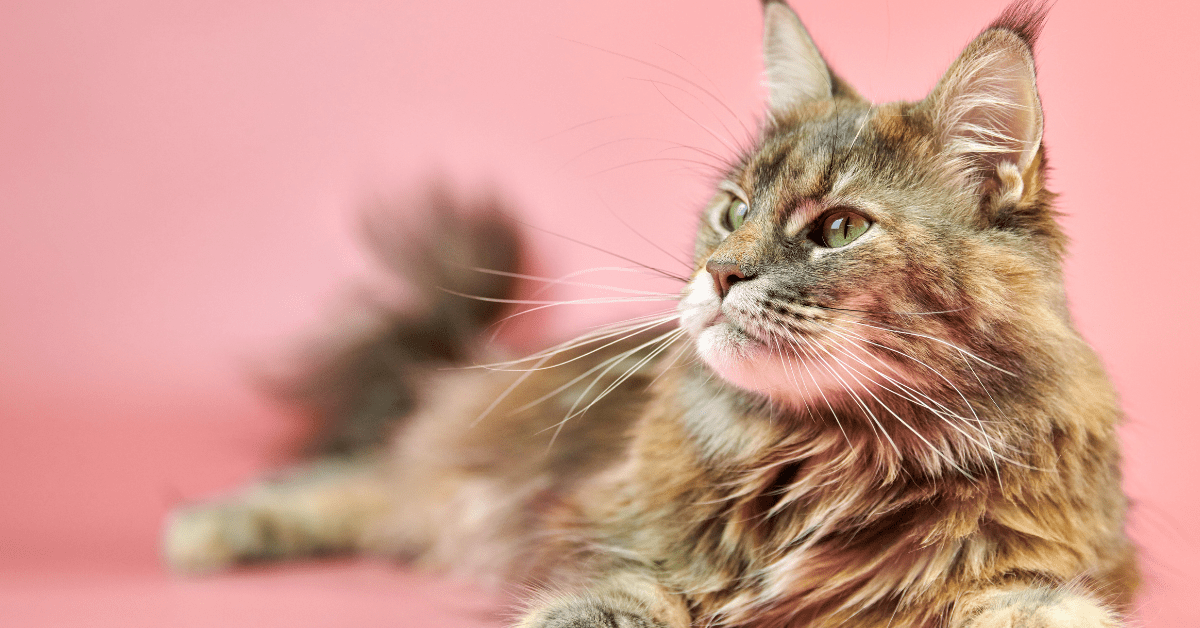 Maine Coon Colors – The 20 Most Official With Stunning Images