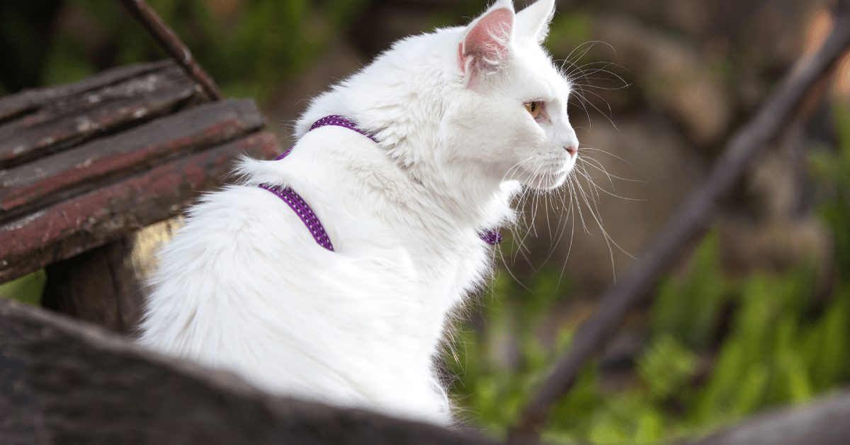 Maine Coon White