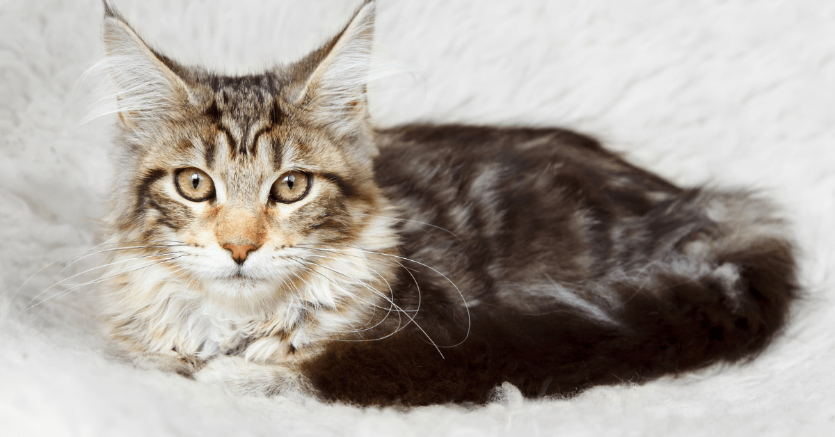black silver tabby maine coon