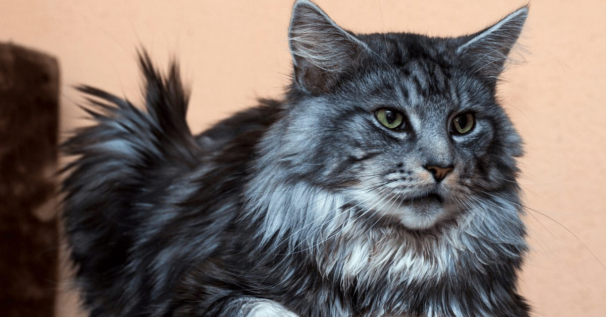 blue silver tabby maine coon
