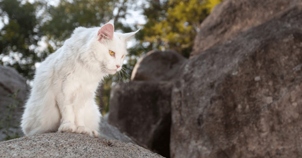 maine coon cats white