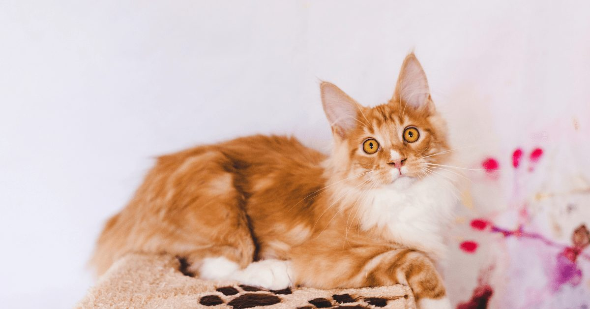 red tabby maine coon