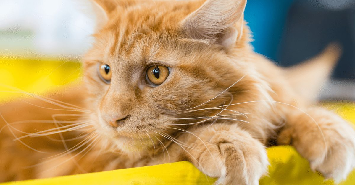 red white maine coon