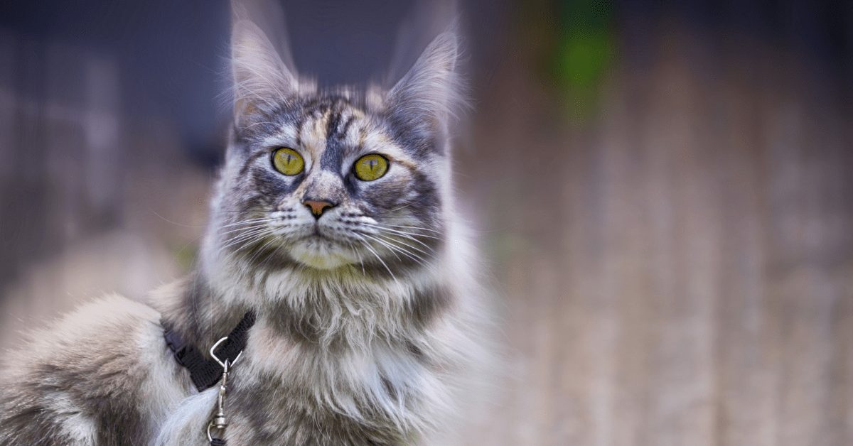 silver tabby maine coon