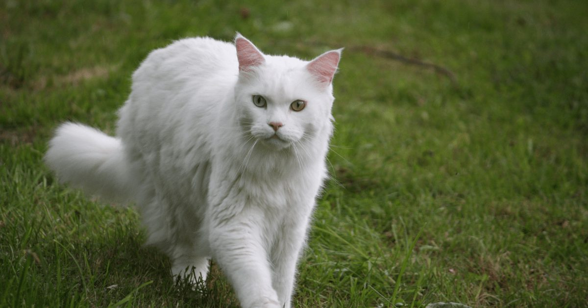 white maine coon cats