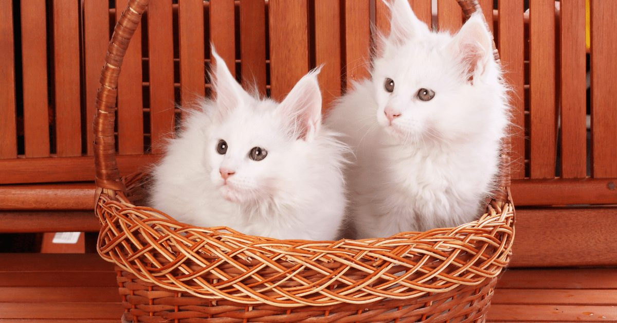 The White Maine Coon Cat 2021 – The Rare, Beautiful & Exotic Breed
