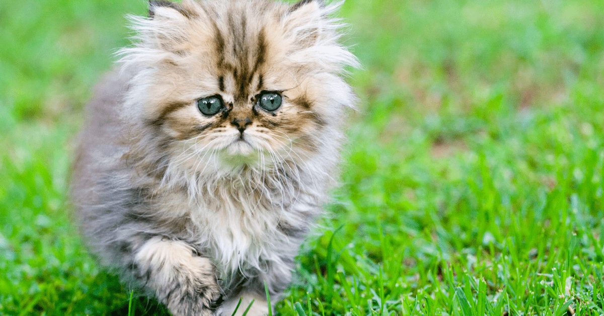 Persian Cat Price in 2021 - Behind USA's Most Popular Cat Breed