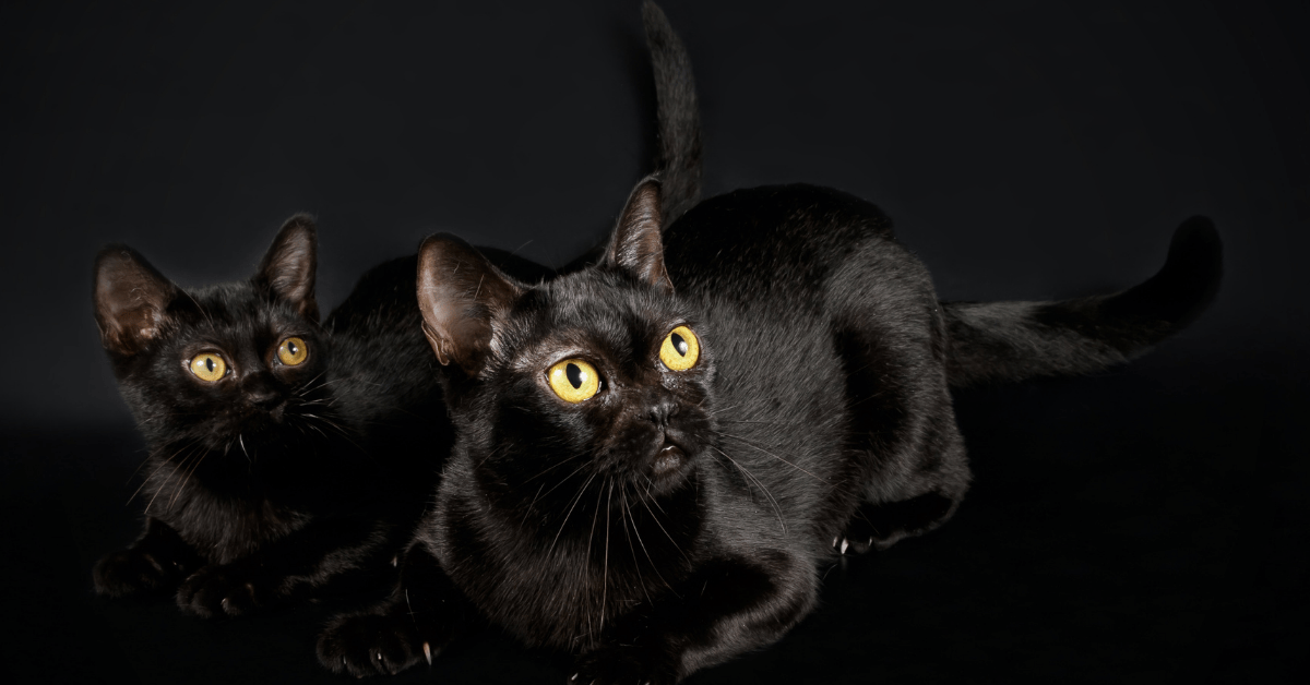 Bombay Cat Price in 2021, Personality and Some Interesting Facts