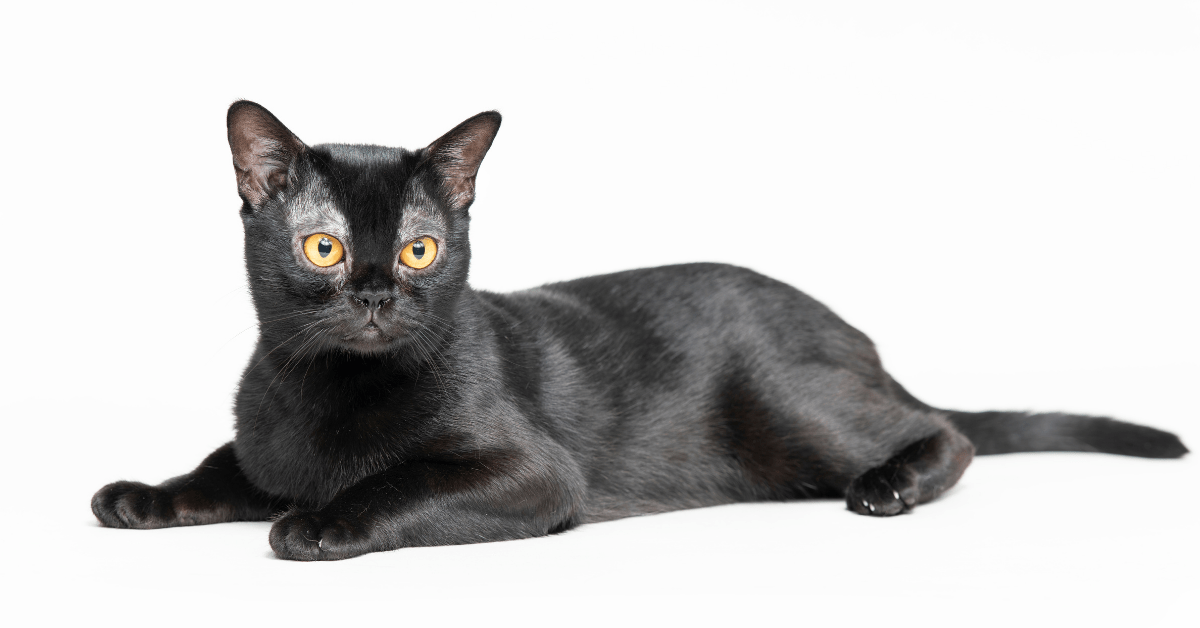 how much is a bombay cat