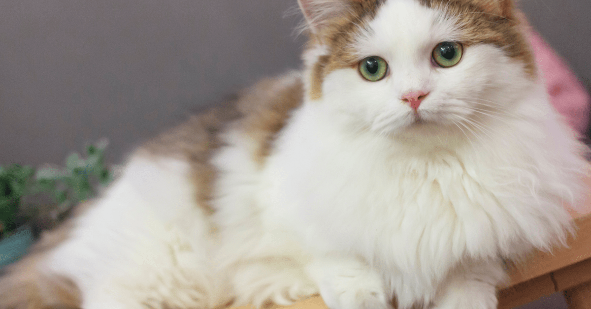 Munchkin Cat Price (2021) - Are They Worth The Hefty Price Tag?