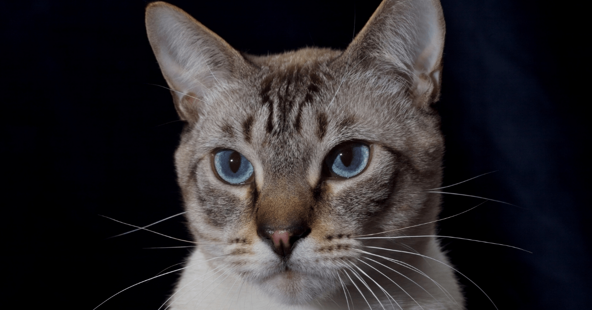 Lynx Point Siamese Cat 2021 - All To Know About This Loving Kitty