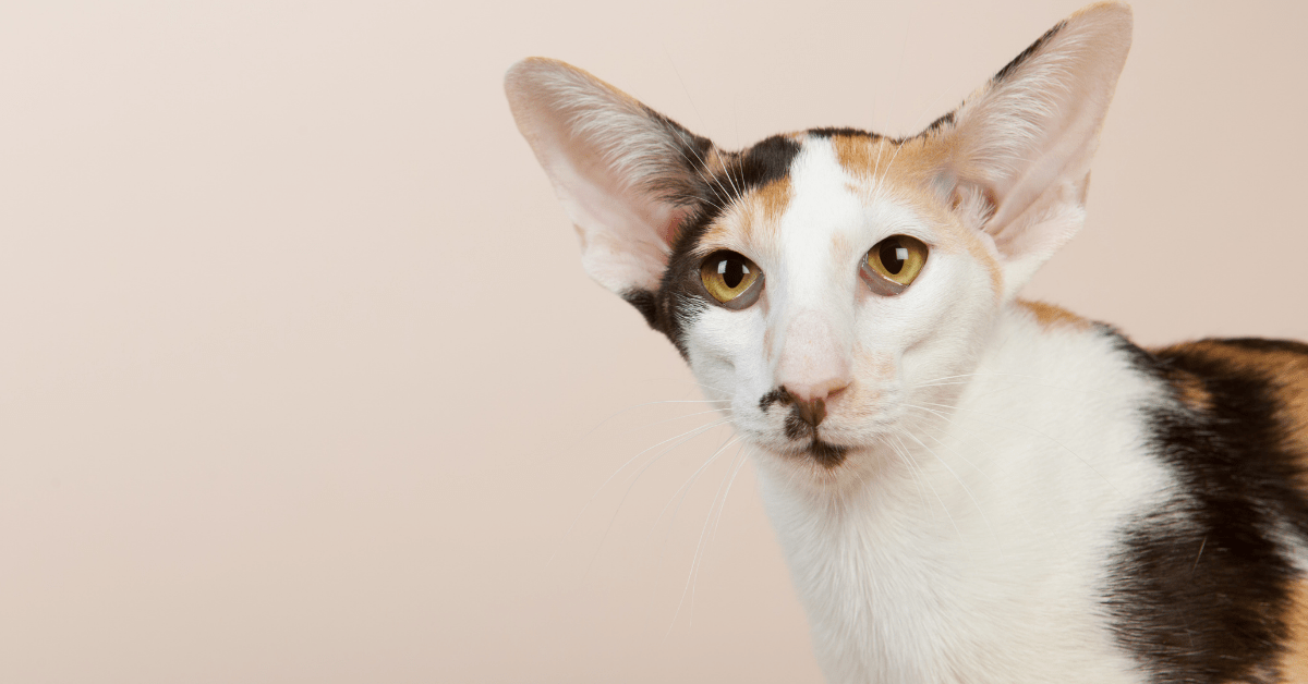 2021 Oriental Shorthair Price, History & Things You May Not Know