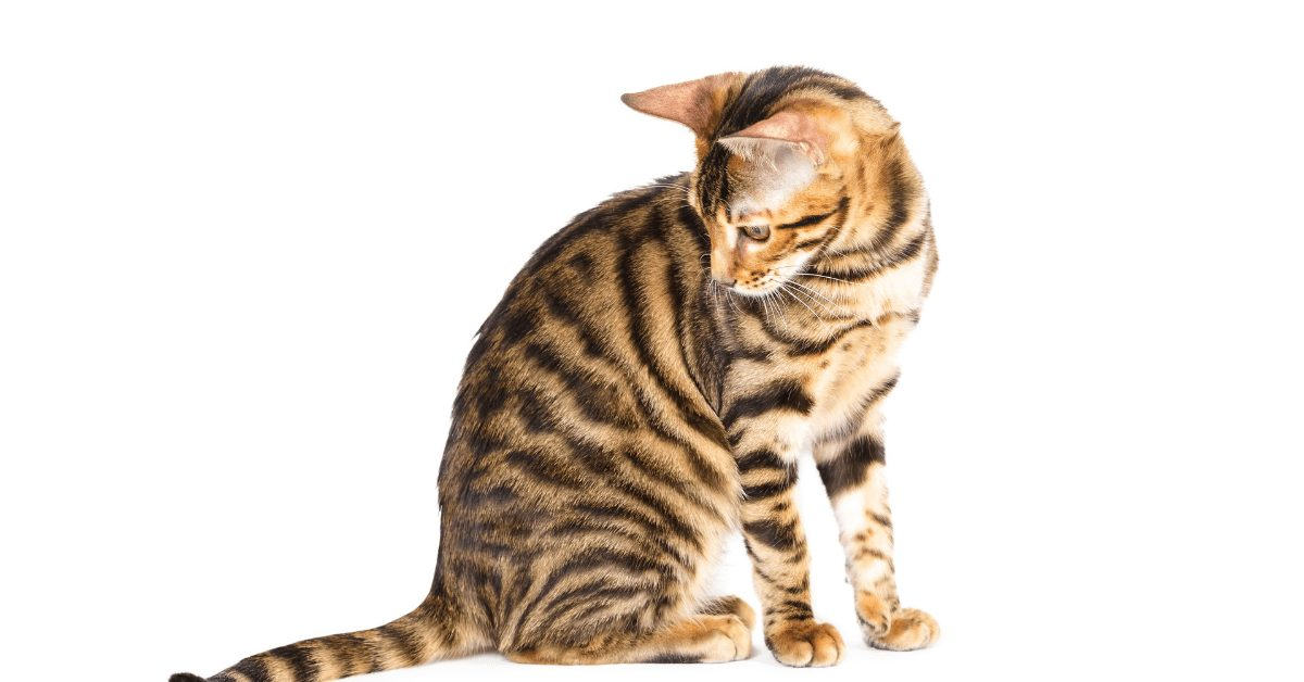 toyger cost