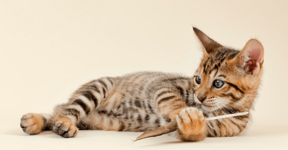 """Toyger Cat Price, History & Why This """"Tiger King"""" Breed Is Rarest Of Them All"""