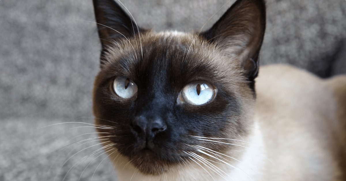 The Applehead Siamese Cat - 5 Weird But Unique Facts