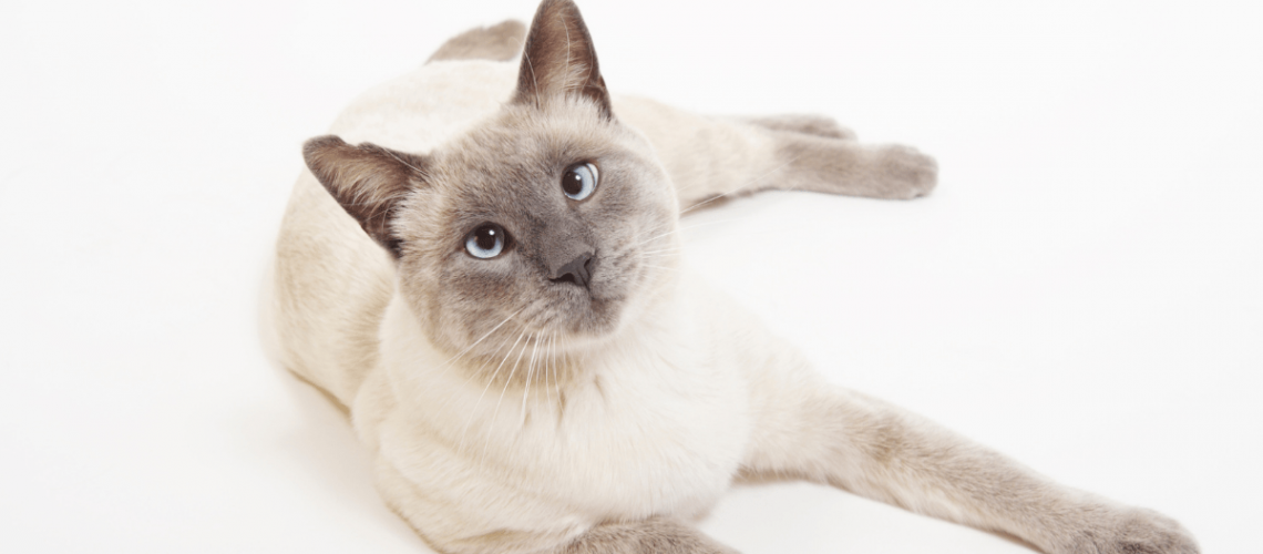 Lilac Point Siamese Cat